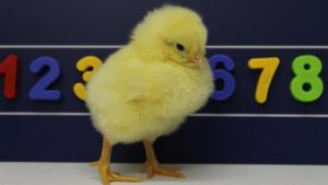 Can Baby Chicks Count Left to Right Just Like Humans?
