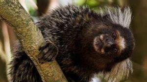 Marmosets Learn To Wait Their Turn To Speak