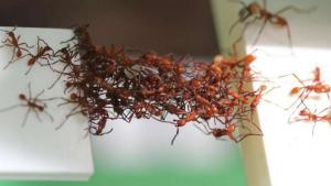 Ants' Innovative And Dynamic Bridge Building