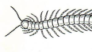 Scottish Centipedes' Genes Reveal They Have No Body Clock